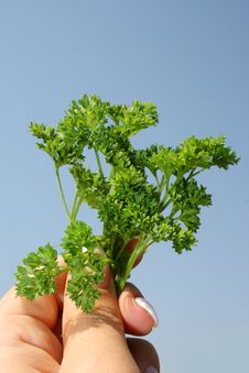 Free Parsley In Hands Stock Image - 6152851