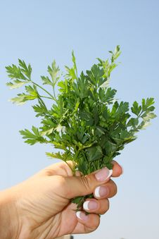 Free Parsley In Hands Stock Photos - 6152923