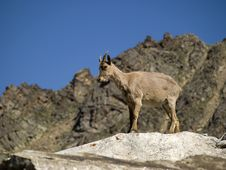 Free Mountain Goat Royalty Free Stock Images - 6153529