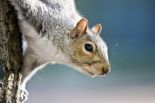 Free Squirrel Decending A Tree Royalty Free Stock Photography - 6153917