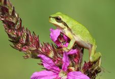 Free Tree Frog On Flower Royalty Free Stock Images - 6153949