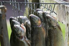 Free Trouts On A Hook Royalty Free Stock Images - 6155539