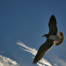 Free Seagull In Flight Stock Photos - 6155593