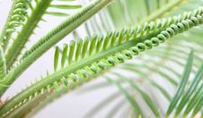 Free Cycas Royalty Free Stock Image - 6156346