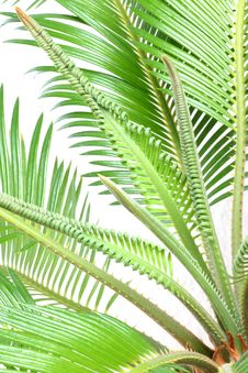 Free Cycas Royalty Free Stock Photos - 6156348