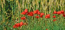 Weath And Poppies Royalty Free Stock Photography