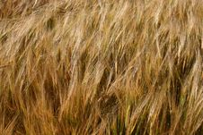 Free Barley Stock Images - 6156414