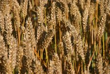 Free Wheat Royalty Free Stock Photography - 6156417