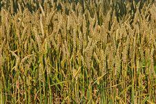 Free Wheat Royalty Free Stock Photos - 6156418