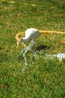 Free Wild Bird Drink Water. Stock Photography - 6157692