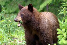 Free Black Bear Royalty Free Stock Photo - 6158135
