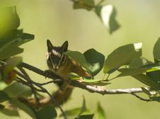 Free Chipmunk Among Branches Royalty Free Stock Photos - 6158808