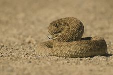 Free Angry Rattlesnake Stock Photos - 6158903