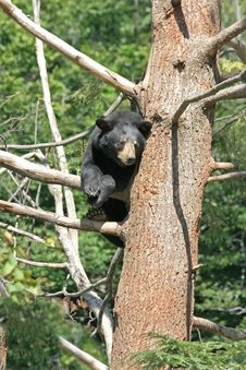 Free Angry Bear Perched On A Tree. Stock Photography - 6159302