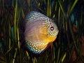 Free Discus Fish Stock Photos - 6161903