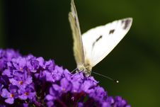 Free Cabbage White Butterfly Royalty Free Stock Photography - 6160837