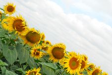 Free Sunflowers Stock Images - 6160884