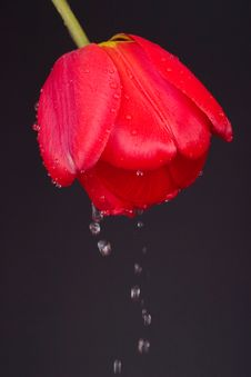 Free Tulip With Drops Royalty Free Stock Photo - 6160985