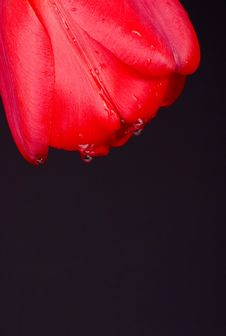 Free Tulip With Drops(2) Royalty Free Stock Images - 6161029