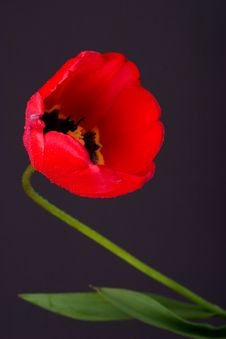 Free Tulip With Drops(3) Stock Images - 6161044