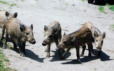 Free Cubs Of A Wild Boar Royalty Free Stock Photos - 6161128