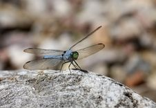 Free Blue Dasher Dragonfly Royalty Free Stock Photos - 6161348