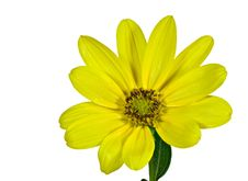 Free Yellow Daisy Royalty Free Stock Image - 6161396