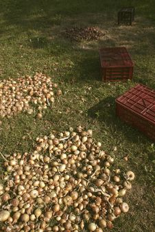 Free Onion Harvest Stock Photos - 6161723