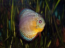 Free Discus Fish Stock Photos - 6161903