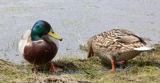 Free Duck Stock Photo - 6162160