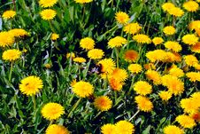 Free Dandelions Royalty Free Stock Photo - 6162745