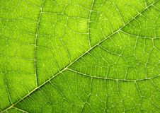 Free Leaf Texture Stock Images - 6162944