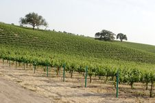 California Vineyard Royalty Free Stock Images