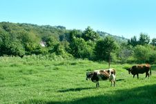 Free Cows Royalty Free Stock Image - 6164226