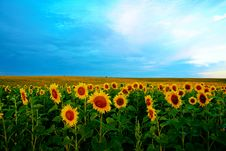 Free Yellow Field Royalty Free Stock Image - 6164726