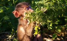 Free Baby Baboon Eating Off A Bush Royalty Free Stock Images - 6165089