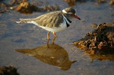 Free Threebanded Plover Royalty Free Stock Image - 6165116