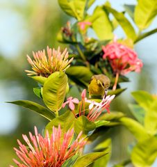 Free Sunbird Feeding On Ixora Stock Image - 6165641