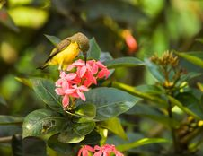 Free Sunbird Feeding On Ixora Stock Photography - 6165692