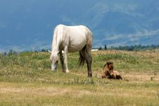 Horse With Foal Stock Image
