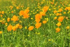 Free Globe-flowers Field Stock Photo - 6165880