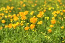 Free Globe-flowers Field Stock Photo - 6165920