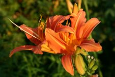 Free Daylily Royalty Free Stock Photos - 6166018