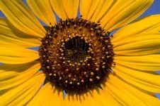 Free Sunflower Macro Royalty Free Stock Photos - 6166148