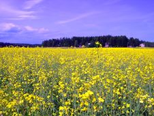 Free Field Of Yellow Flowers Stock Photos - 6166443