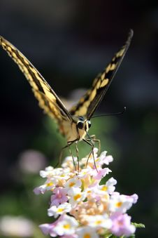Free Wild Butterfly Royalty Free Stock Image - 6166846