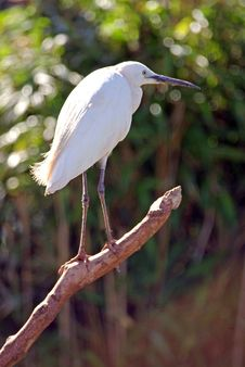 Free Little Egret Stock Photography - 6167842