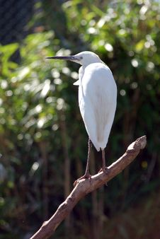 Little Egret Looking To The Left. Royalty Free Stock Image