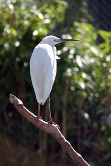 Free Little Egret Looking Right. Stock Photos - 6167923
