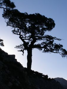 Free Lonely Pine Stock Images - 6167964